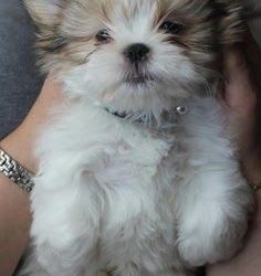 Pure breed ShihTzu 1 Male left only